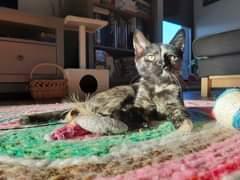 Na obrázku může být: kočka, stůl a indoor